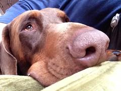 Red Doberman Pinscher Zeus (firehouse.ie) Tags: content relaxing relax boy male canine k9 dogs dog dobies dobie pinschers pinscher doberman dobermann dobermans dobermanns dobes dobe tan brown ref zeus