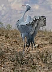 Blue Crane (Anthropoides paradiseus) parading (berniedup) Tags: bluecrane anthropoidesparadiseus crane taxonomy:binomial=anthropoidesparadiseus bird mountainzebranp linkroad