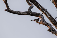 Banino_20160326-180103 (airbreather) Tags: habarana northcentralprovince srilanka animal bird passerine redvented bulbul pycnonotus cafer perch