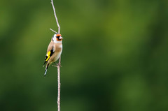 En suivant une route tranquille (Arige) (PierreG_09) Tags: arige pyrnes pirineos faune oiseau chardonneret chardonneretlgant cardueliscarduelis europeangoldfinch passriformes fringillids jilgueroeuropeo stieglitz
