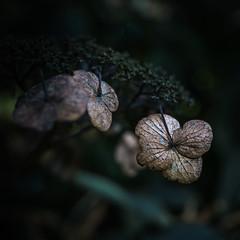 Goodbye Summer... Hello Fall. (Sylvie.) Tags: fall autumn summer goodbye hello sel24f18z sylviepeeters sony sonnar2418za sonyilce6000 black nature flower plant