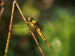dragonfly... (quarzonero ...Aldo A...) Tags: dragonfly libellula natura nature macro coth coth5 sunrays5