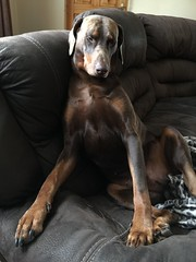 Red Dobermann Pinscher Zeus (firehouse.ie) Tags: tan brown red animal animals dogs canine k9 pinscher pinschers boy male dog zeus dobermans dobermanns doberman dobermann dobes dobe dobies dobie dobey dobeys