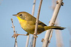 First Winter Common (tresed47) Tags: 2016 201609sep 20160913bombayhookmisc birds bombayhook canon7d commonyellowthroat content delaware folder peterscamera petersphotos places takenby us warbler