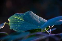 leaf (keriarpi) Tags: leaf nature green