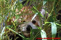 Canberra Zoo - Red panda (Firefox) (soyouz) Tags: aus australiancapitalterritory australie curtin geo:lat=3530071226 geo:lon=14906939946 geotagged animals pandaroux canberra australiel