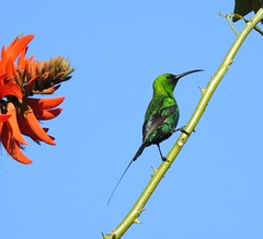 Malachite Sunbird at Tulbagh (Pete Read) Tags: malachite sunbird tulbagh