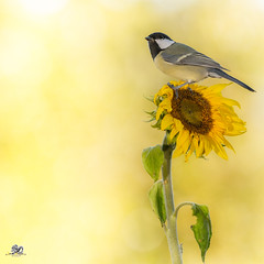 sunflower standing (Geert Weggen) Tags: sweden geert weggen jmtland ragunda nature animal red perennial closeup cute plant funny happy summer ground spring bright light branch yellow bird tit titmouse fruit food sunflower flower