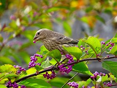 House Finch & Beauty Berry, Urban Forestry Center, Portsmouth, NH 9/27/16 (LJHankandKaren) Tags: beautyberry urbanforestrycenter finch housefinch