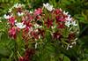 SAM_5367 (mashrafis) Tags: modhumonjori ful rangoon creeper flower combretum indicum chinese honeysuckle
