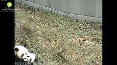 2016_10-01f (gkoo19681) Tags: beibei meixiang treattime yummyfruitcicle bigboyfruitcicle notsharing feetsies stealing togetherness toocute ccncby nationalzoo