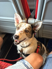 Lina on the Train (Jainbow) Tags: lina rescue dog adopted colliecross southwesttrains train carriage seats jainbow davids comments