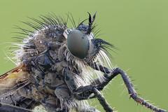 Robberfly close up (Cristian Arghius) Tags: canoneos5dmarkii carlzeissluminar6345 nikonpb6bellows rrstp243tripod arcaswisscubetripodhead zerenestacker macro naturallight focusstack insect robberfly dysmachusfuscipennis