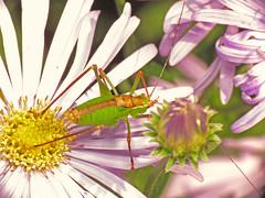 Speckled Bush-cricket (Leptophyes punctatissima) male (Martin Cooper Ipswich) Tags: speckled bush cricket leptophyes punctatissima male bushcricket leptophyespunctatissima garden ipswich suffolk orthoptera ensifera tettigonioidea tettigoniidae phaneropterinae