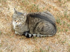 Beck, outside and catloafing (Hairlover) Tags: pet cats pets cat kitten tabby kitty kittens kitties catloaf catloaves kittys kittyloaf catmoments allcatsnopeople catcatskittykitties