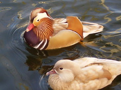 Mandarin Ducks (Retro.Girl) Tags: duck ducks mandarinduck mandarinducks
