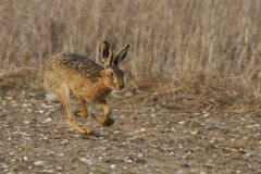 Headlander.Brown Hare (trickydicky1964) Tags: brown nature spring hare wildlife north norfolk running 7d handheld british mammals hares brownhare europaeus lepus 2013 sigma150500mmf563dgoshsm glavenvalley trickydicky1964