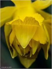 Première fleur de jonquille