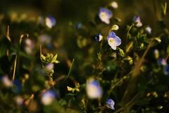 Spring.1 (TRUDI.) Tags: flowers blue light sunset sun blur flower verde green primavera nature spring tramonto blurred natura fiori fiore printemps luce myosotis fiorellini nontiscordardime