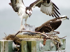 Ospreys nestbuilding on channel marker (scott_clark) Tags: pandionhaliaetus slbnesting