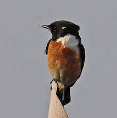 Th13_05304a (jerryoldenettel) Tags: bird thailand passeriformes commonstonechat saxicola stonechat passerine saxicolatorquatus 2013 muscicapidae bangtaboon bangtaboonmarshes