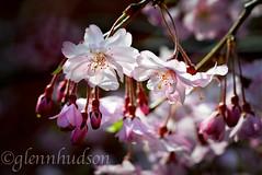 Cherry_7915 (Glenn D. Hudson) Tags: pink copyright flower by lens cherry ed photo spring nikon blossoms weeping vr d600 f3556g 2013 glennhudson ©glennhudson tamron60mmf20diiimacrolens