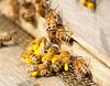Honeybees by paulrollings, on Flickr
