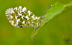 Orange Tip (Anthocharis cardamines) (Pete Withers) Tags: mygearandme
