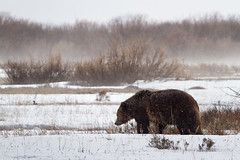 Grizzly Bear in Late Winter Storm (Free Roaming Photography) Tags: bear usa snow storm west male weather animal silhouette fog season walking fur mammal nationalpark spring moody adult walk wildlife profile snowstorm foggy northamerica wyoming predator snowfall boar grandteton jacksonhole winterstorm precipitation grizzlybear grandtetonnationalpark willowflats