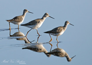 Selective Focus (Lesser Yellowlegs)