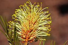 Grevillea banksii (andreas lambrianides) Tags: macro australian wildflower australiannativeplant proteaceae australianflora australianplant grevilleabanksii redsilkyoak dwarfsilkyoak byfieldwaratah banks'grevillea