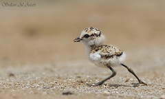 1 .. 2 .. Start  the race !! () Tags: birds race start bin chick sultan 12 plover qatar kentish        qatarbirds   binsultan lesnafi