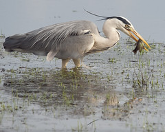 Heron Catching Fish - BBC Springwatch Favourite (John (Gio) * OVER 100,000 VIEWS *) Tags: bird heron nature kent wildlife olympus gio ardeacinerea birdwatcher greyheron kwt fourthirds nbw bwg bbcspringwatch kentwildlifetrust birdwatchinggroup bbcspringwatchfavourite zuikodigitaled50200mmf2835swd bbcspringwatchfavorite