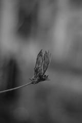 more spring growth (postbear) Tags: trees blackandwhite plants plant toronto blur tree leaves grey leaf spring focus soft growth satan buds bud cabbagetown andfear robfordasshole destroycraigslist cabbageville cabbageopolis robfordisanasshole robfordandstephenharperaredisgustingbigots robfordisalyingsackofshit allconservativesarefilth likeallbulliesrobfordisachickenshitcoward robfordisafraidofeverything robfordisastupidbitch marywalshformayororprimeminister atownmadeentirelyfromcabbages thenewmapfunctionisterrible robfordhasneonazisforfriends foundoutreadingisdifficult robfordisadisgustingfuckingthief thenewuploaderisalsoterrible helpourformermayorisastupidclown formermayorrobfordlikescottaging call911theformermayorsbeatinghiswifeagain richwhiteconservativesbuyjusticeyetagain robfordsexuallyassaultswomen allyourmoralsaredead