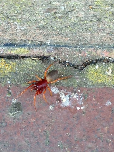 Woodlouse Spider - Dysdera crocata