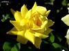 In my garden (pat.bluey) Tags: flowers light green rose yellow australia newsouthwales 1001nights mygarden amazingdetails 1001nightsmagiccity hennysgardens sunrays5
