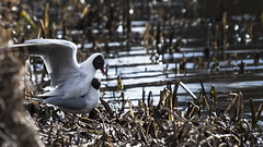 Romance lifelasting :) (Mona_Oslo) Tags: nature birds oslo spring fugler vr blackheadedgull fglar skrattms hettemke stensjvannet