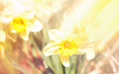 watercolor (carlamgk) Tags: flowers light beautiful 50mm spring colorful afternoon bokeh dreamlike daffodils