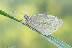 Pieris Sp. (ValeCrio) Tags: