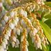 Pieris japonica 'Avalanche' Flowers