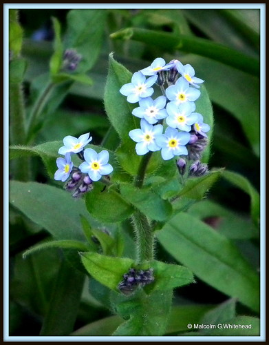 Forget-Me-Not  (  Myosotis alpestris  )