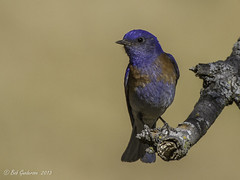 Western Bluebird (Bob Gunderson) Tags: california birds northerncalifornia eastbay bluebirds westernbluebird sialiamexicana thrushes contracostacounty blackdiamondminesrp