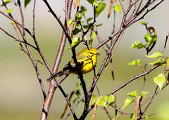 Prairie Warbler 1 (AF3LMike) Tags: black bird nature birds yellow canon outdoors photography wings outdoor hiking pennsylvania wildlife birding wing beak feathers feather birders birdwatching birder warbler yellowandblack birdwatcher naturephotography beaks naturelovers naturelover birdwatchers featheredfriend featheredfriends warblers prairiewarbler birdphotography birdlovers wildlifephotography outdoorphotography birdlover slatington photographylover photographylovers lehighgapnaturecenter canoneos60d outdoorlover eos60d prairiewarblers wildlifelover wildlifelovers outdoorlovers