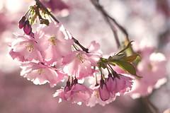 Vår (EvasSvammel) Tags: primavera spring cherryblossom vår kungsträdgården 365foton