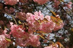 IMG_0695 (benjobango) Tags: pink flower canon cherry spring blossom 70200 f4 bearwood warleywoods warley 60d
