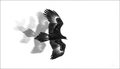 Wedge tailed Eagle (caralan393) Tags: bw art birds eagle experimantal