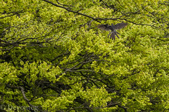 Glorious new beech leaves ... nothing unusual there but (devonteg) Tags: nikon may unusual cuckoo exmoor odc beechtrees newleaves 2013 70300mm4556vr d7000 ourdailychallenge dickyspath