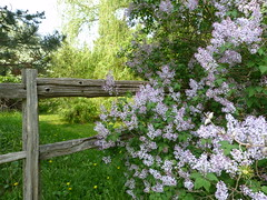 Green corner with lilac (syfractal) Tags: trees grass fence spring georgianbay bluemountains lilac