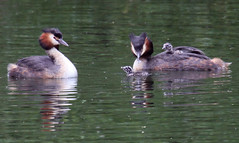 Great-crested Grebes with chicks - 2 (Czech Conroy) Tags: london water birds canon grebe wetland greatcrestedgrebe