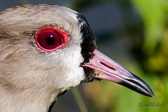 Red Eyes (Daniel Dalonso) Tags: birds brasil aves santacatarina paisagens joinville passaros queroquero t2i 55250mm